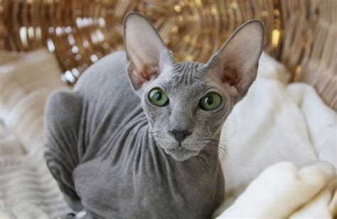 11 cat breeds that don t shed or are low shedding
