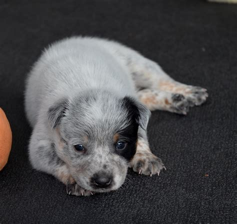 how to an australian cattle puppy australian cattle puppies breed information pictures