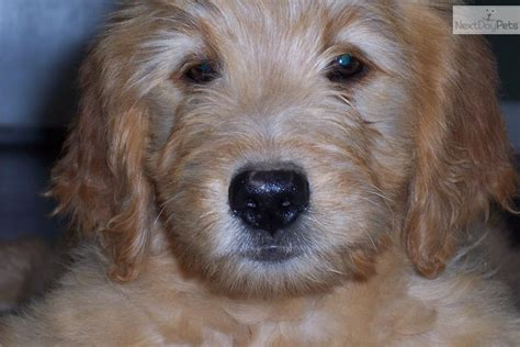 trained doodle puppies for sale goldendoodle puppy for sale near joplin missouri