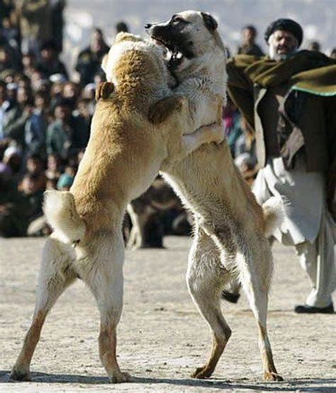 wolf vs 17 best images about wolf vs anatolia shepherd kurt vs kangal on sons and