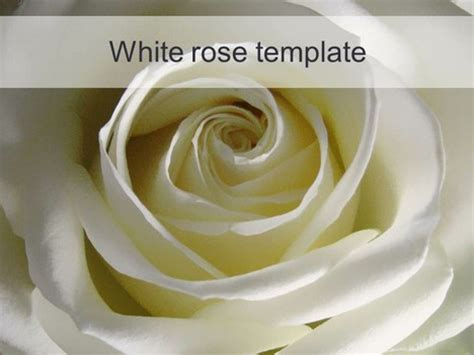 theme powerpoint rose white rose powerpoint template