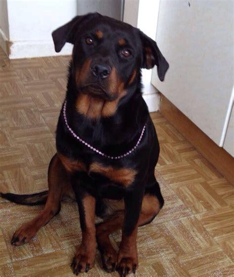 6 month rottweiler for sale rottweiler x german shepherd pups for sale ipswich suffolk pets4homes