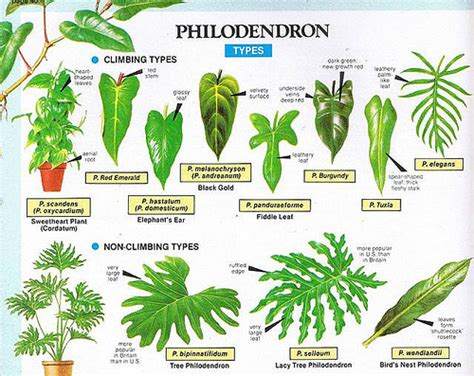 house plant types philodendron types flickr photo