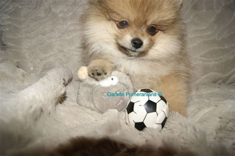 pomeranian rescue uk pomeranian for adoption breeds picture