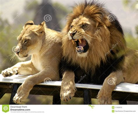when a lioness growls a s pride books king and his mate stock photo image 17433370