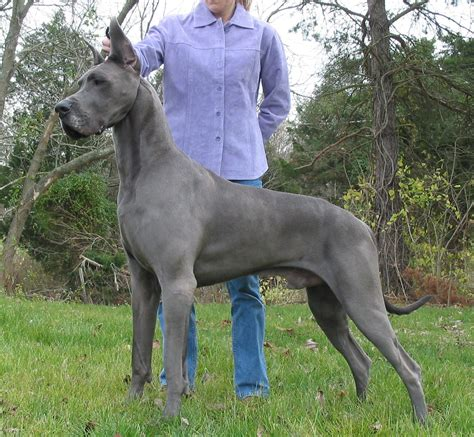 spotted great dane puppy great dane justadogg