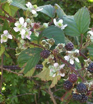 r fruticosus zarzamora rubus ulmifolius r fruticosus descripci 243 n