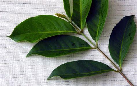 Khasiat Dasyat Dan Salam manfaat daun salam bagi kesehatan dan cara pengolahannya