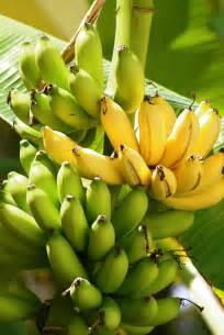 bananas on tree bananas on tree harvest to table