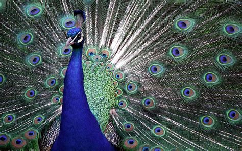 peacock blue wallpapers peacock wallpapers