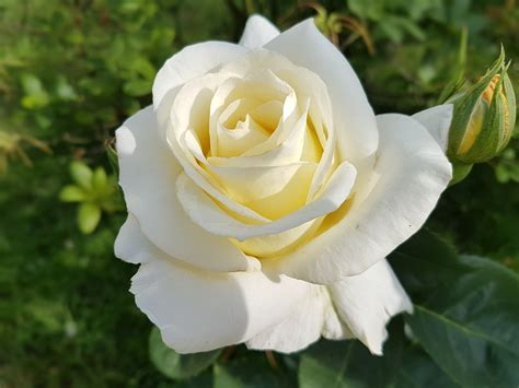 kumpulan galeri gambar bunga mawar putih tercantik
