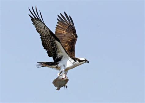 Doves Look Like Summer Feel Like Summer Contest by Osprey Meaning And Interpretations Stop