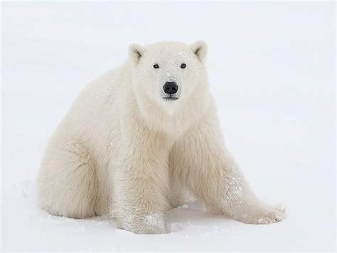 Bears White pictures of white polar bears white polar wallpaper free wallpapers hd desktop