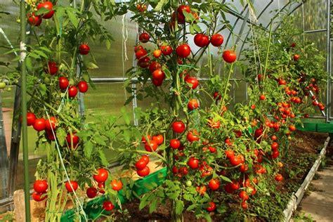 coltivazione pomodori in vaso coltivare i pomodori terreno e semina pollicegreen