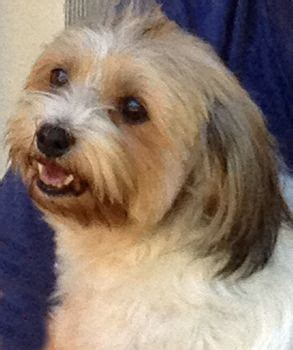 havanese rescue fl 521 best images about adoptable dogs mostly havanese on