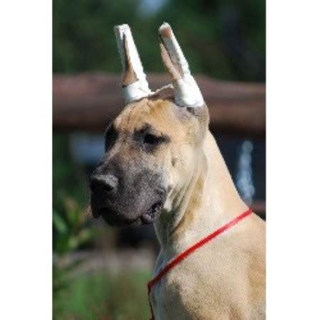 puppies for sale in la crosse wi dcdanes great dane breeder in la crosse wisconsin