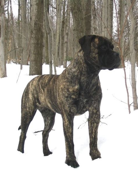 bullmastiff colors best 25 brindle mastiff ideas only on mastiff