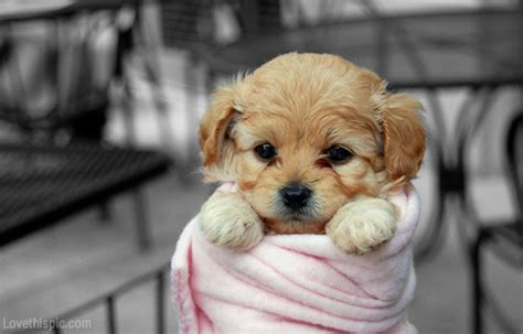 puppies cuddling puppy cuddle pictures photos and images for and