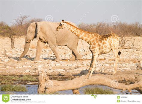 imágenes de jirafas y elefantes jirafa y elefante fotograf 237 a de archivo imagen 18390052