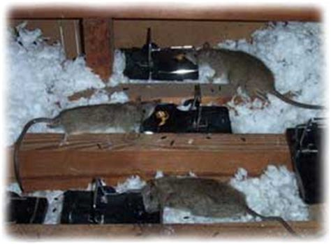 Scratching Noise In Ceiling by Noises In The Attic And Walls Scratching Noises Rats