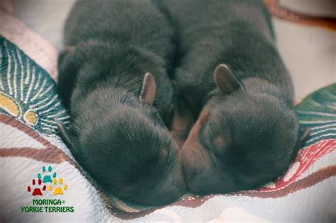 yorkie puppies for sale in inland empire 25 best ideas about yorkie puppies on yorkie puppies and