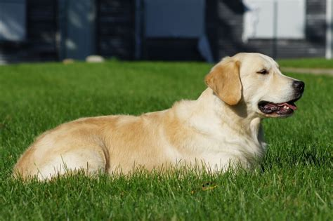 top golden retriever breeders in the midwest golden retriever breeders near joliet il photo