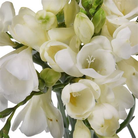 fiori fresia white freesia flower