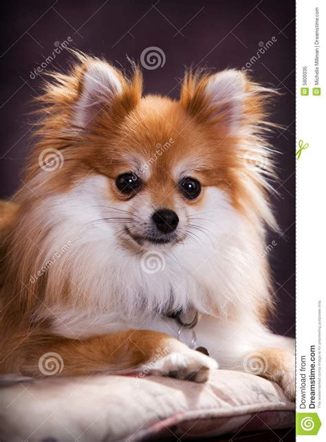 breeds similar to pomeranian pomeranian spitz profile royalty free stock photo image 10739555 breeds picture