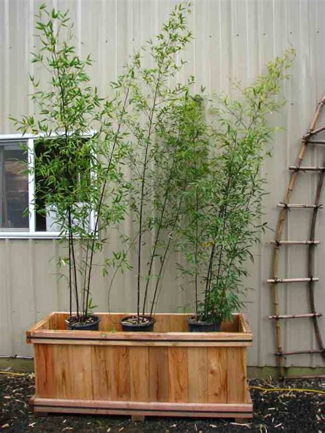 bamboo care growing and maintaining bamboo garden