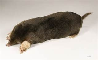 How Does Blind Cc Work Mole Animal Wikiwand