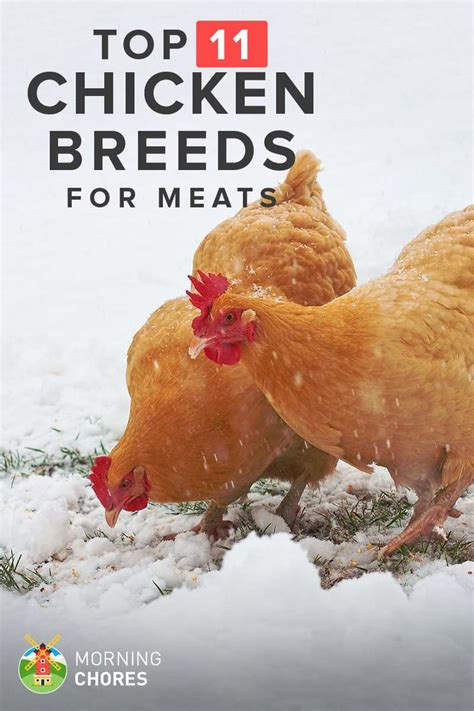 raising meat chickens your backyard best 25 poultry breeds ideas on pinterest types of