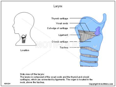 laryngectomy diagram larynx anatomy ppt driverlayer search engine