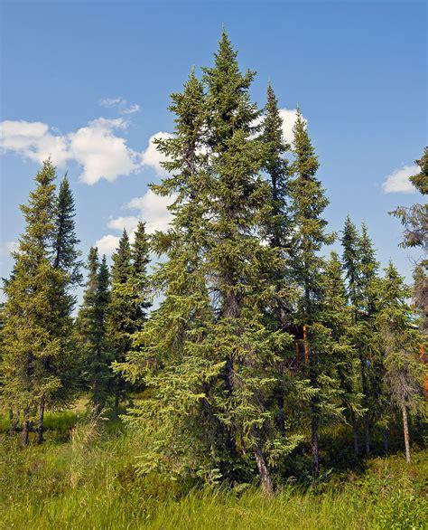 canadian spruce tree picea mariana