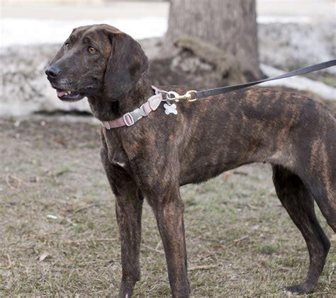plott puppies plott hound breeds breeds picture