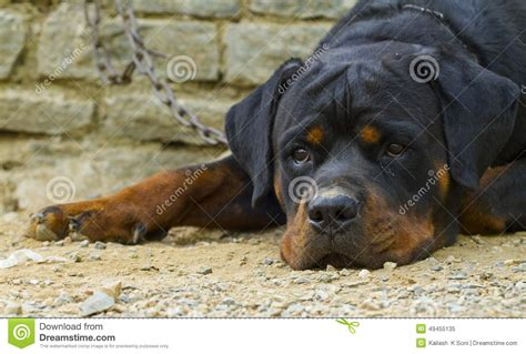real rottweiler rottweiler stock photo image 49455135