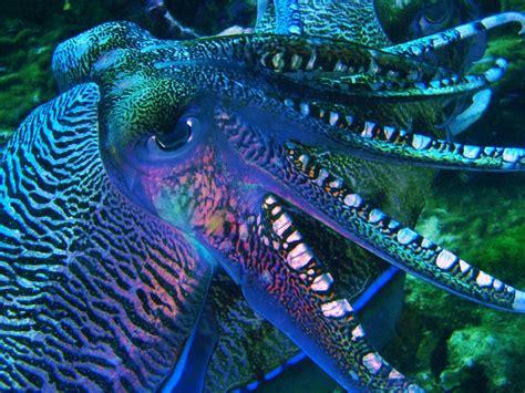 colorful octopus wallpaper octopus appreciation thread