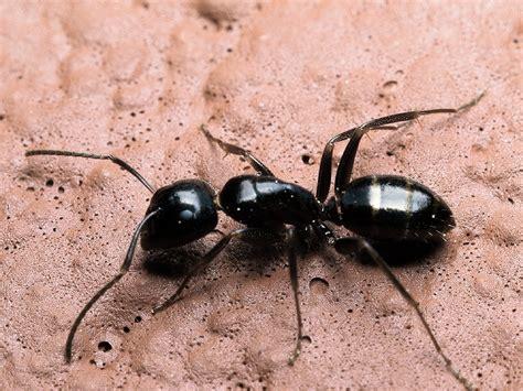 fourmis dans la maison printemps fourmis charpenti 232 res boisvert gestion