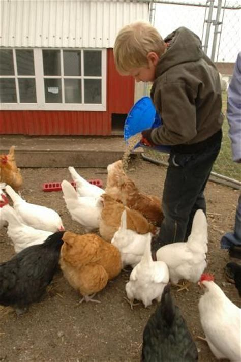 How To Care For Backyard Chickens 209 Best Images About Chickens Pets Livestock On Chicken Coop Designs Cattle And