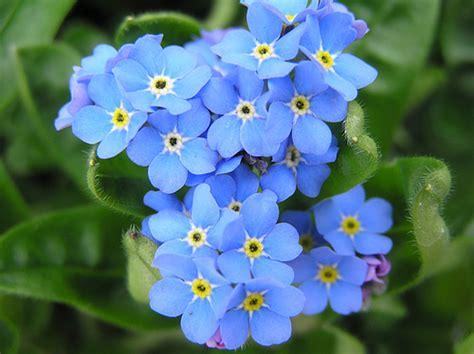 non ti scordar di me fiori significato dei fiori non ti scordar di me costanza savarese
