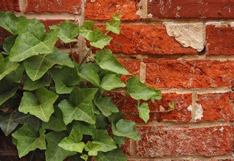 edera coltivazione in vaso coltivare l edera piante in giardino consigli su come