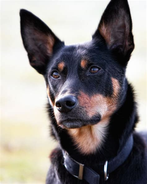 kelpie breed australian kelpie history personality appearance health and pictures