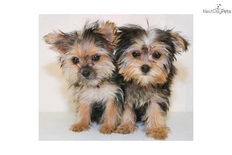 teacup yorkies for sale in columbus ga yorkie puppy for sale in columbus breeds picture