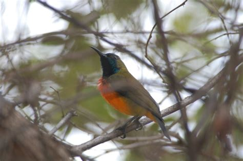 Cp Mk Lahan Ia M burung madu matari si kecil dari nusa tenggara mongabay