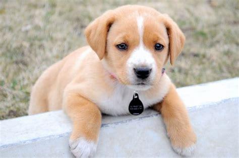 cutest mixed breeds mixed breeds for cutest mix breeds breed mixes 590x391px