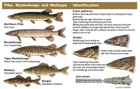 pa fish and boat species walleye