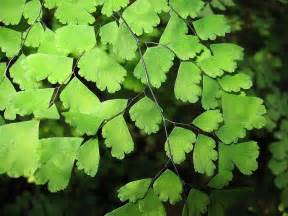 maidenhair fern gardening pinterest