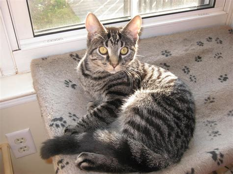 Pics For > Grey And Black Tabby Cat