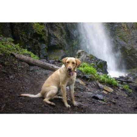 free puppies in oregon labrador retriever lab breeders in oregon freedoglistings