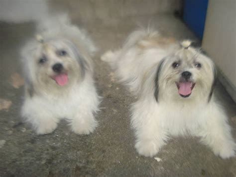 shih tzu spitz mix japanese spitz breed to japanese shih tsu breeds picture