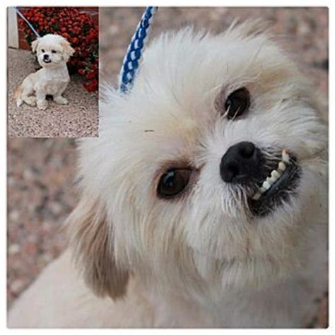 shih tzu mix puppies in michigan rupert adopted garden city mi shih tzu pekingese mix